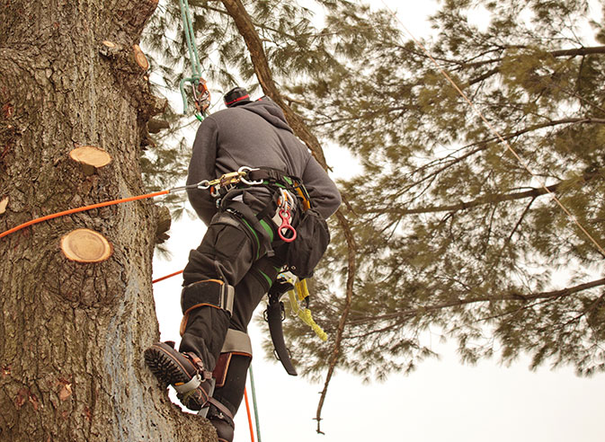 Wade Logging employee trimming a tree